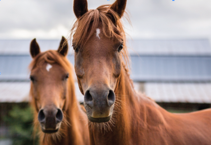 Can facial expression be a reliable guide to musculoskeletal pain in horses?