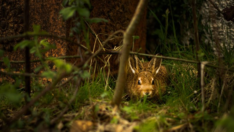 RHDV2 found among shrinking rabbit and hare populations