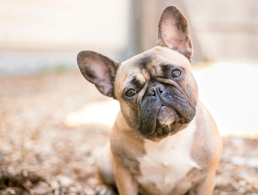 UK dog lovers still too fond of flat-faced breeds, says study