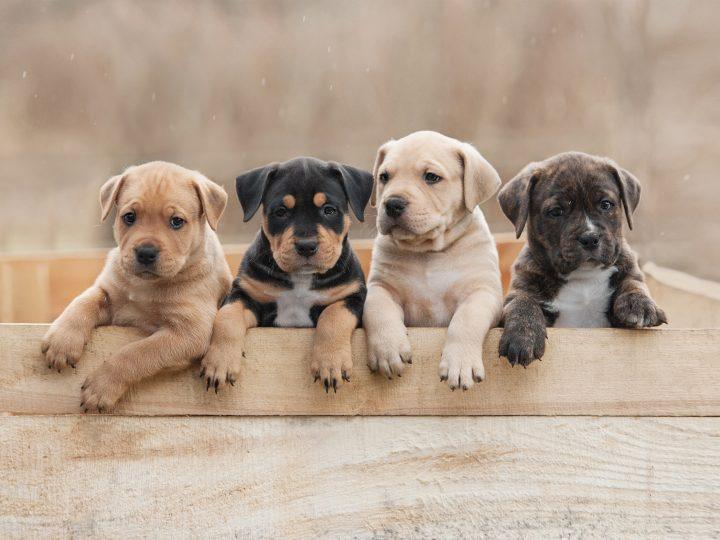 Puppy prices break records during lockdown surge