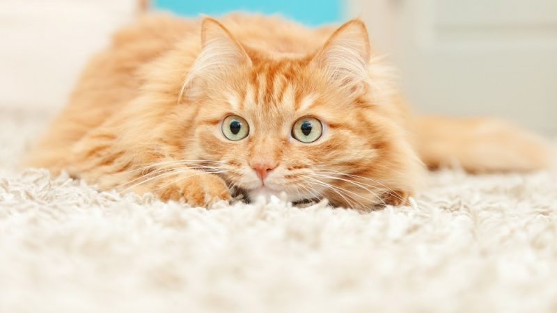 Virtual symposium highlights new feline pheromone