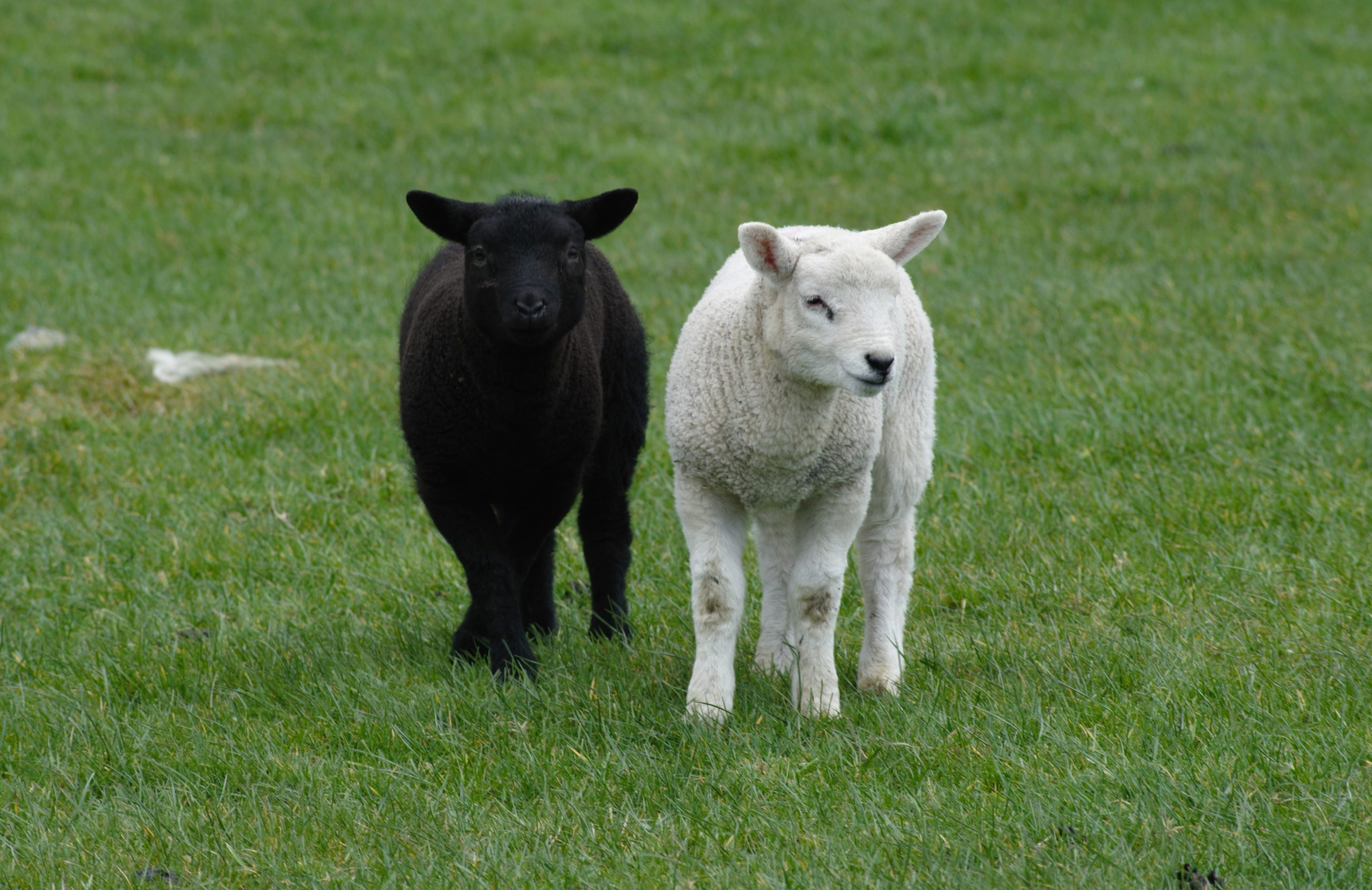 Seasonal warning issued over copper risk to sheep