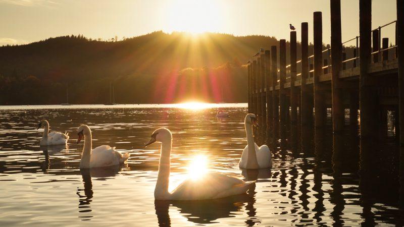 H5N8 confirmed in Lough Beg swan