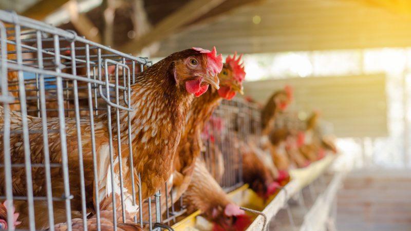 NI flock keepers warned over avian influenza