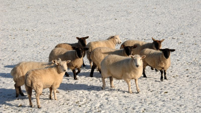 AFBI winter warning on the risk of certain ornamental plants to sheep