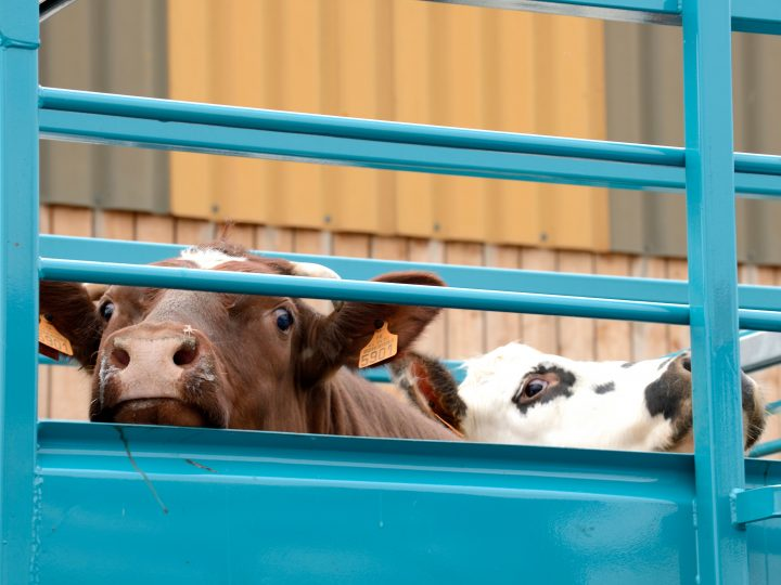 Vets welcome Government consultation on the welfare of livestock at transport