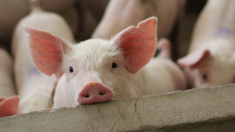 Pig sector to receive £2.2m COVID-19 support package