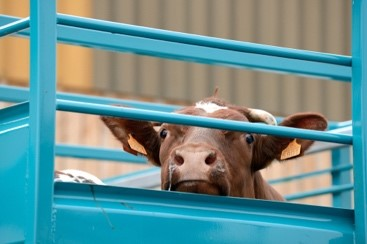 Cattle culled after 'hellish' two months on boat