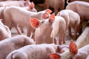 MSD Animal Health Receives Approval for PORCILIS® Lawsonia ID