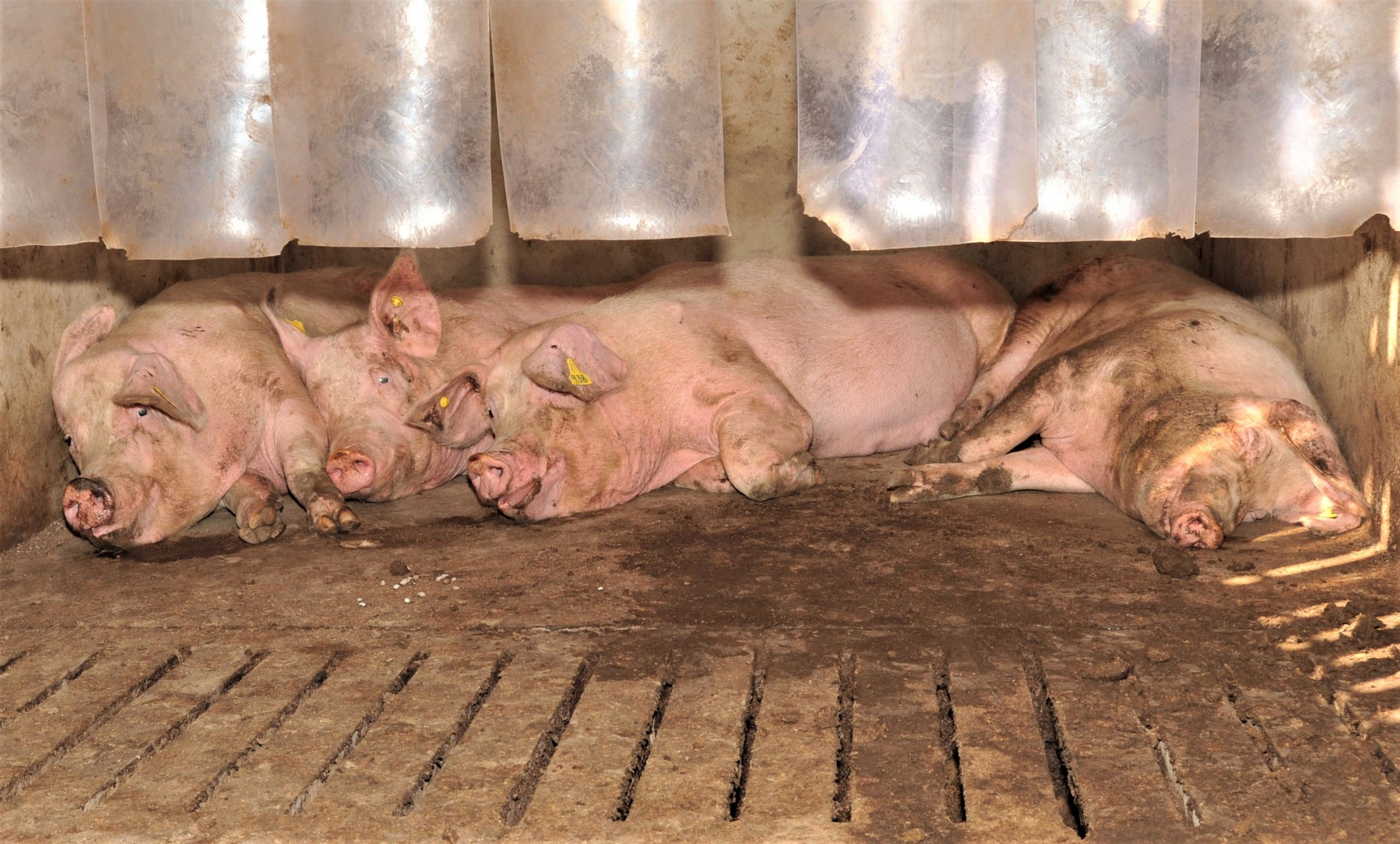 Pigs' behaviour could be indicator of stomach ulcers