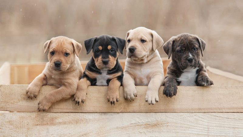 Help for vets to maximise joy of puppies