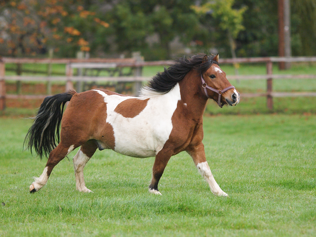 BEVA bid to tackle 'ticking time bomb' of equine obesity