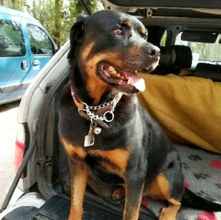 Rottweiler saved after eating 30 PPE gloves