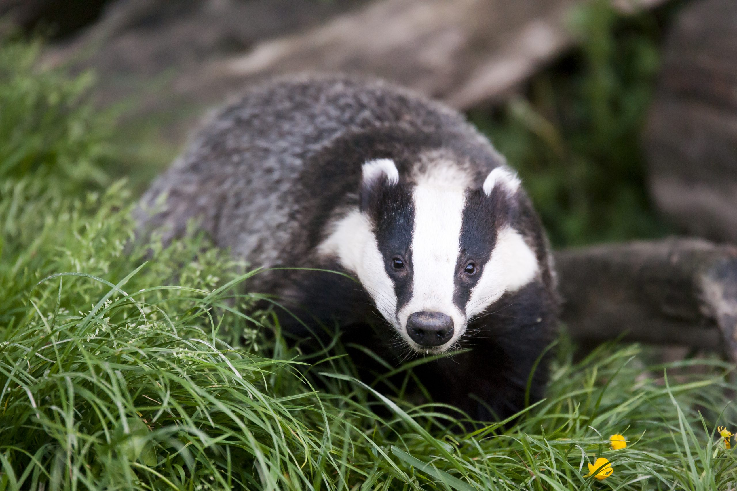 Mixed response to Poots' badger cull TB strategy