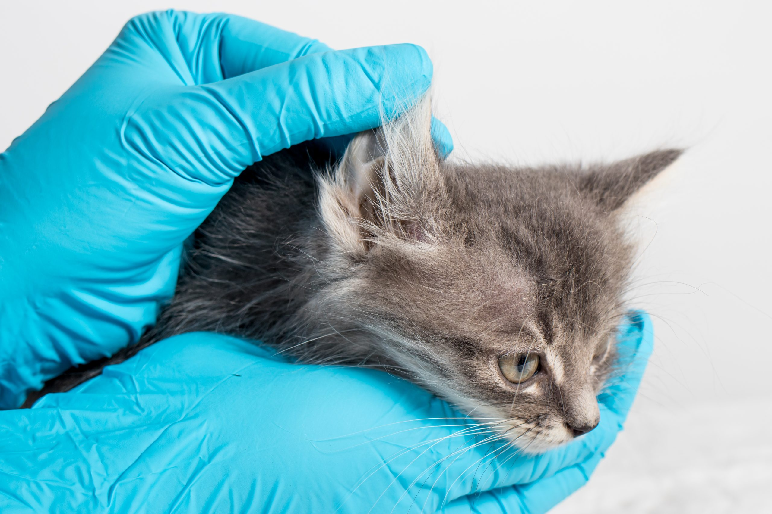 New podcast lets vets share experience of treating otitis